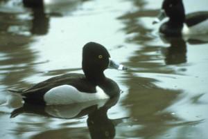ring, necked, duck, aythya collaris