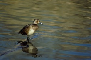 ring, necked, duck, female, aythya collaris, stands, log, water