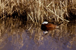 ruddy, duck, oxyura, jamaicensis
