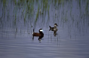 ruddy, duck, pair, swimming, oxyura, jamaicensis