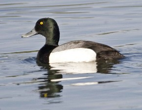 duck, waterfowl, greater, scaup, drake