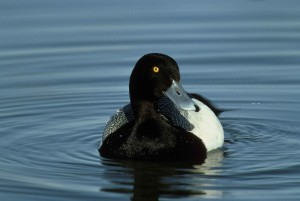 lesser scaup bird, frontal, aythya affinis