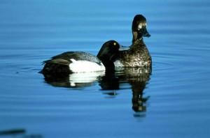 moins les oiseaux de fuligules, paire, l'eau, les oiseaux aquatiques, Aythya affinis