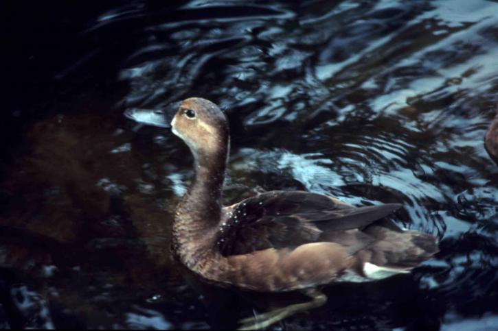 lesser scaup duck, hen female, aythya affinis