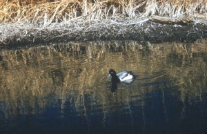 scaup, duck, swamp, water