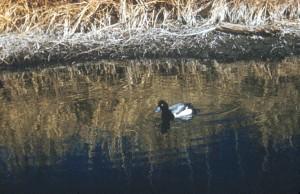 scaup, duck, swamp, water