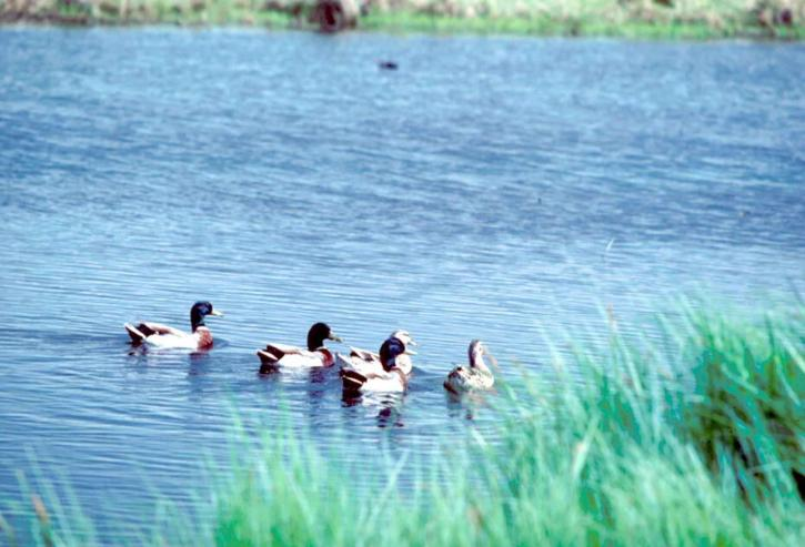 several, male, female, mallard, ducks, breeding, plumage