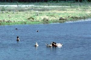 several, wild, allards, watrfowls, birds, anas platyrhynchos