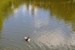 single, domestic duck, nice, lake