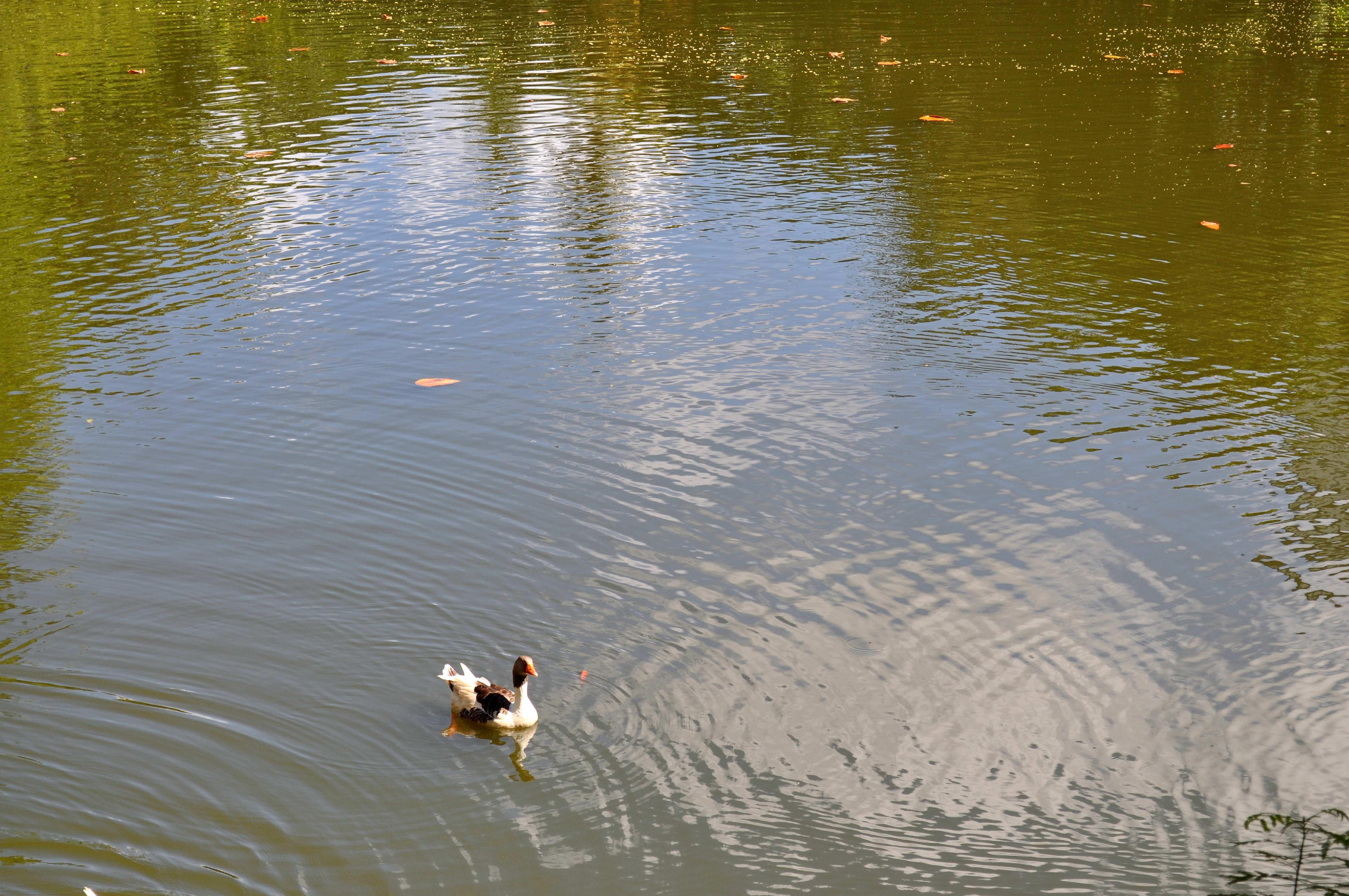 Free photograph; single, domestic, duck, nice, lake