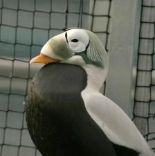 bebrillede, duck, fugl, ærfugl, male, stolt, flaunts