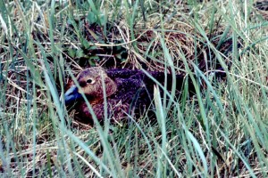 spectacled, duck, female, lying, nest