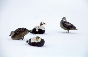 Eider à lunettes, oiseaux, neigeux blanc, fond