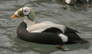spectacled eider เดรก ชาย up-close, somateria fischeri