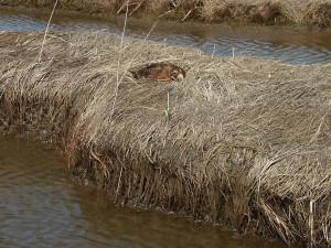 spectacled eider, canard, femelle, nid, somateria, fischeri