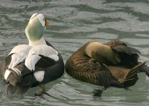 spectacled eider, male, female, mating season, winter, plumage