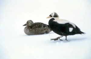 spectacled eider, male, female, white snowy, background