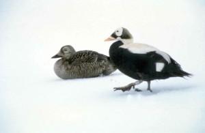 brilleærfugl, mannlige, kvinnelige, hvit snø, bakgrunn