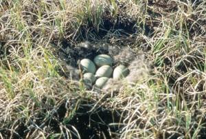 brilleærfugl, reir egg
