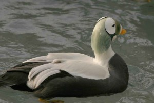 spectacled eider ปีก เป็ด ชาย up-close, somateria fischeri