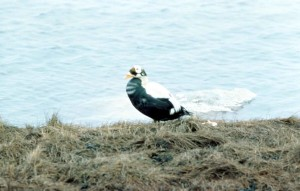 brilleærfugl, vannfugler, hann