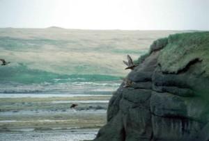 Eider, πουλί, βράχια