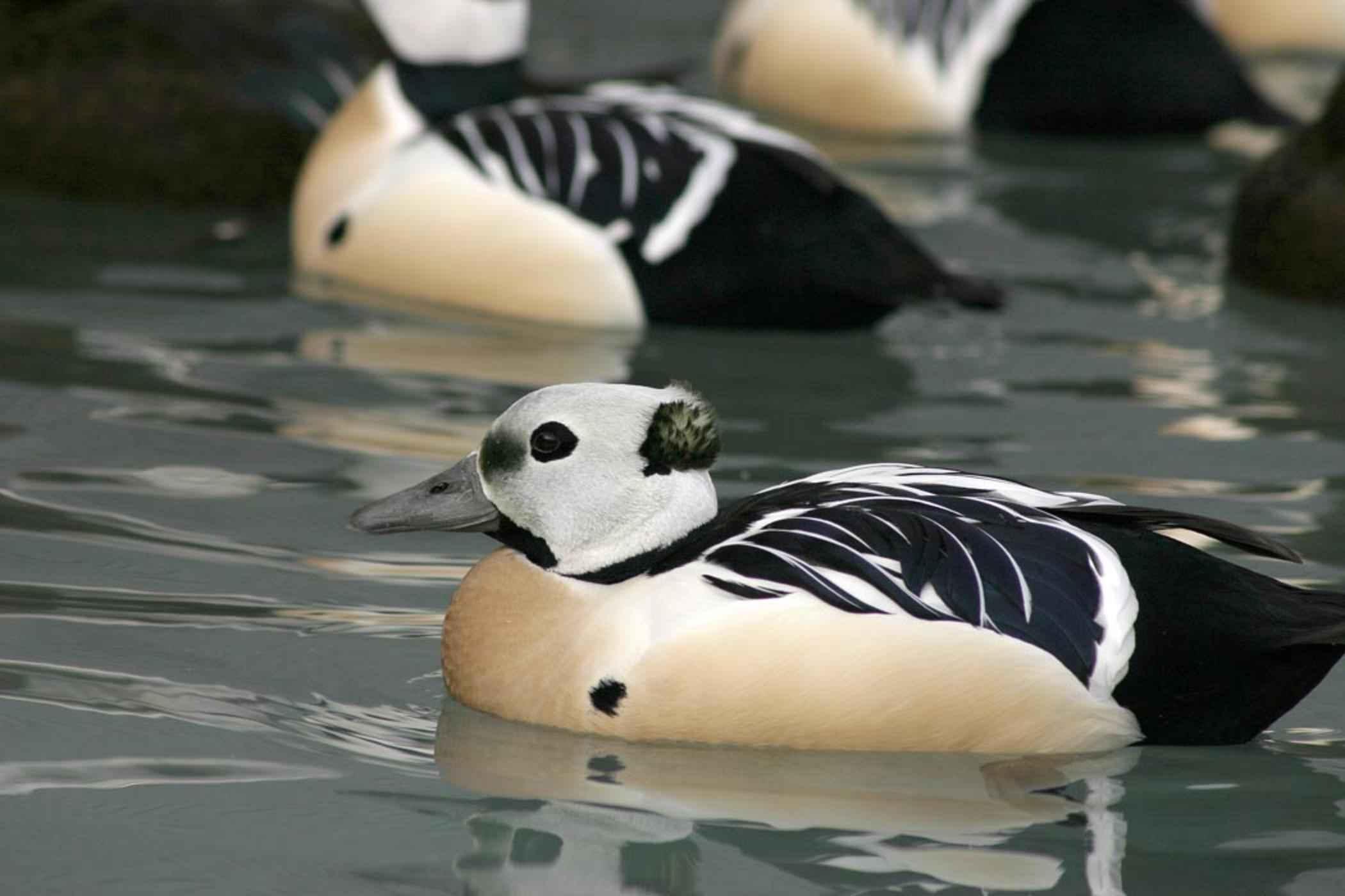 free picture group steller eider male ducks breeding