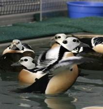 haut, détails, photo, mâle, Steller, eider, mâle, oiseau, l'élevage, le plumage