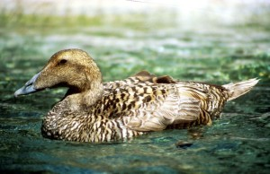 Тихия океан, Гага, кокошка, водолюбиви птици, птици, somateria mollissima, синап