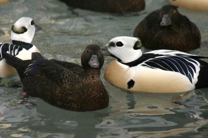 plusieurs, paires, Steller, eiders, canards, natation, ensemble
