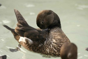 Steller, eider, femme, reproduction, plumage