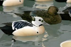 Steller, eider, male, vodné vtáky, bird, ženy