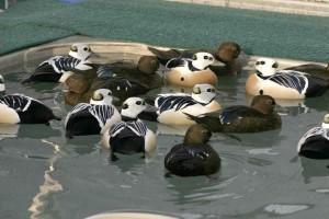 Steller, eider, muži, ženy, bazén