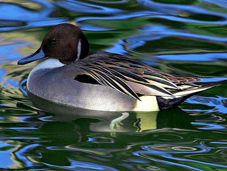 la natation, le canard
