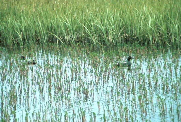 teal, drakes, wetland, water