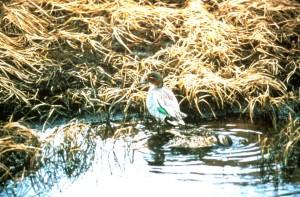 sarcelle d'hiver, canards, paire