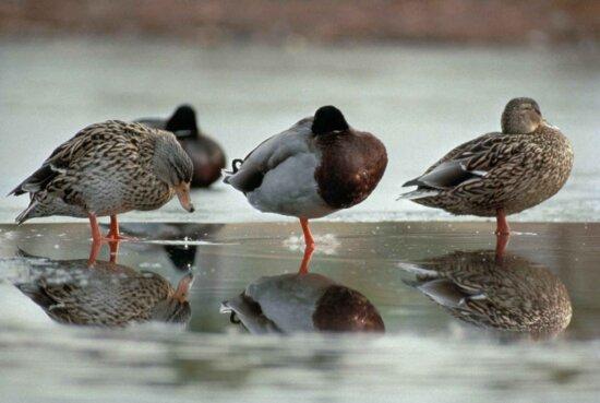 two, drakes, one, hen, mallard, ducks