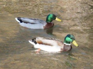 deux, colvert, canards, lac