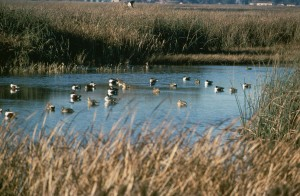 water, waterfowl, ducks, enjoy, relaxing, water