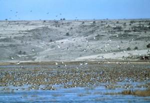 sauvagine, drake, oiseaux, troupeau, lac
