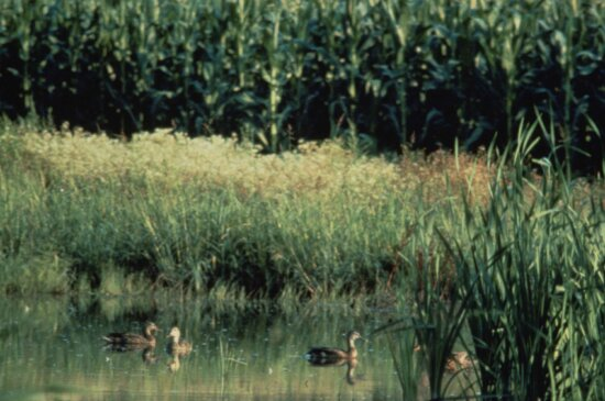 wetland, pothole, ducks, cornfield