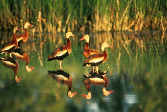 whistling, ducks, lake, dendrocygna