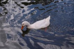 흰 오리, 연못