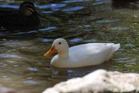 white, Pekin, duck