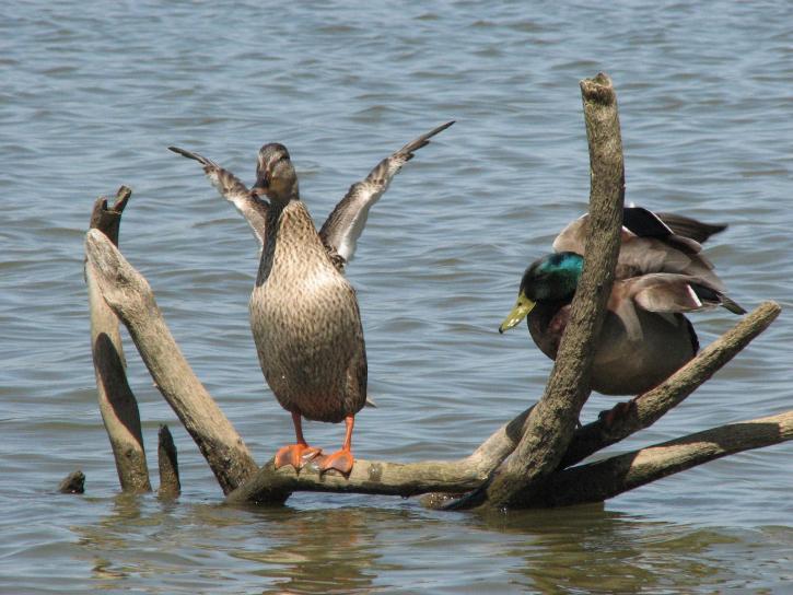 새, 오리, 야생 사진