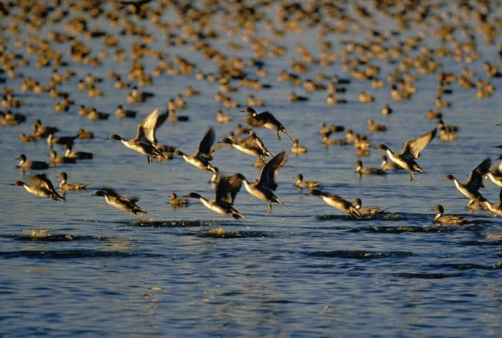 wild, ducks, flock, flying, water