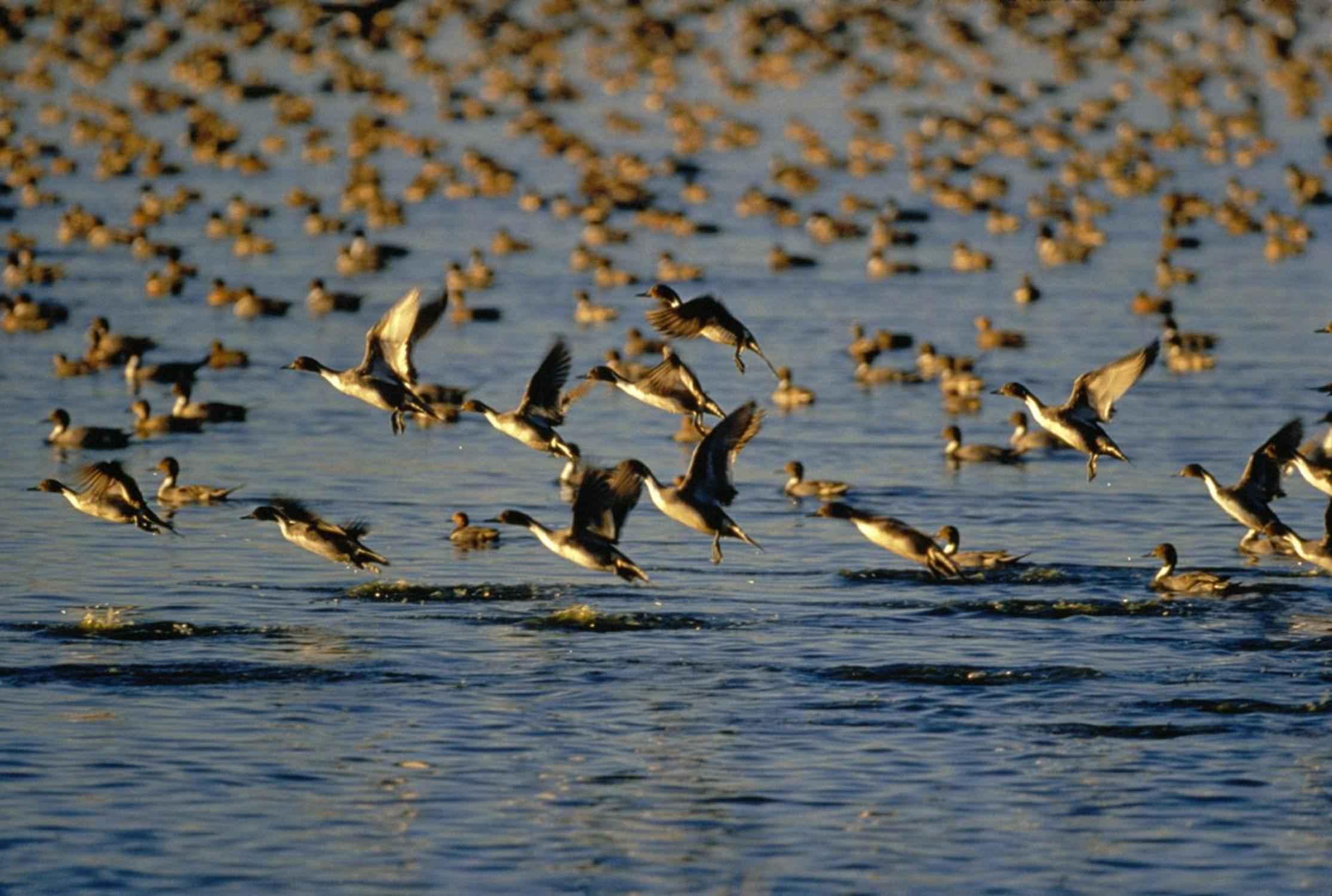 Free picture: wild, ducks, flock, flying, water  Flock