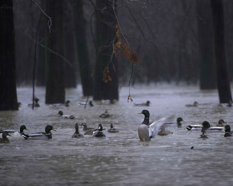 Free picture: wild, ducks, swim, water, rain | 3000 x 2400 jpeg 345kB