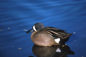 blue, winged, teal, drake, duck