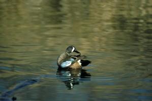 blue, winged, teal, duck, drake, bird